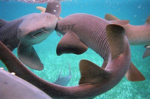 Nadando com Tubarões e Raias no Mar de Belize