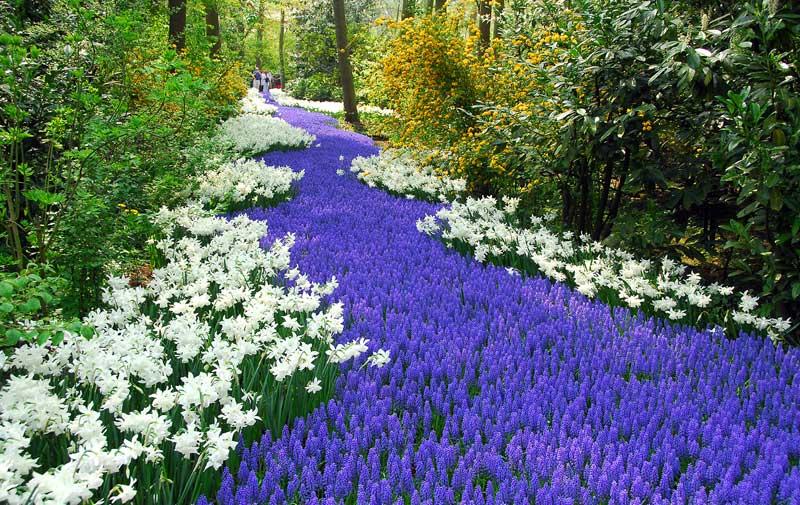 visitar campos tulipas holanda